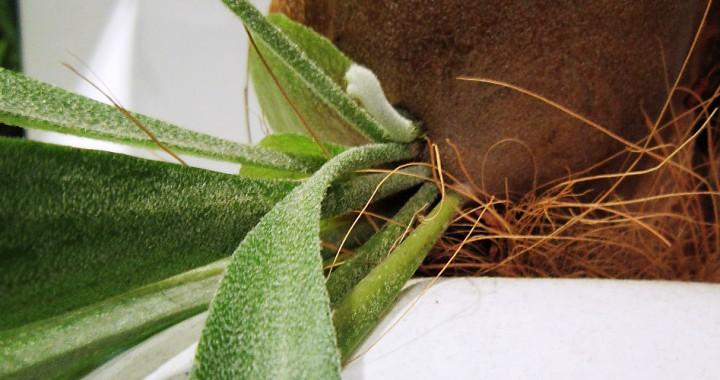 芽が出たコウモリラン